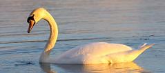 Swan At Carton House