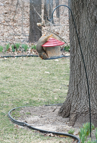 acrobat squirrel
