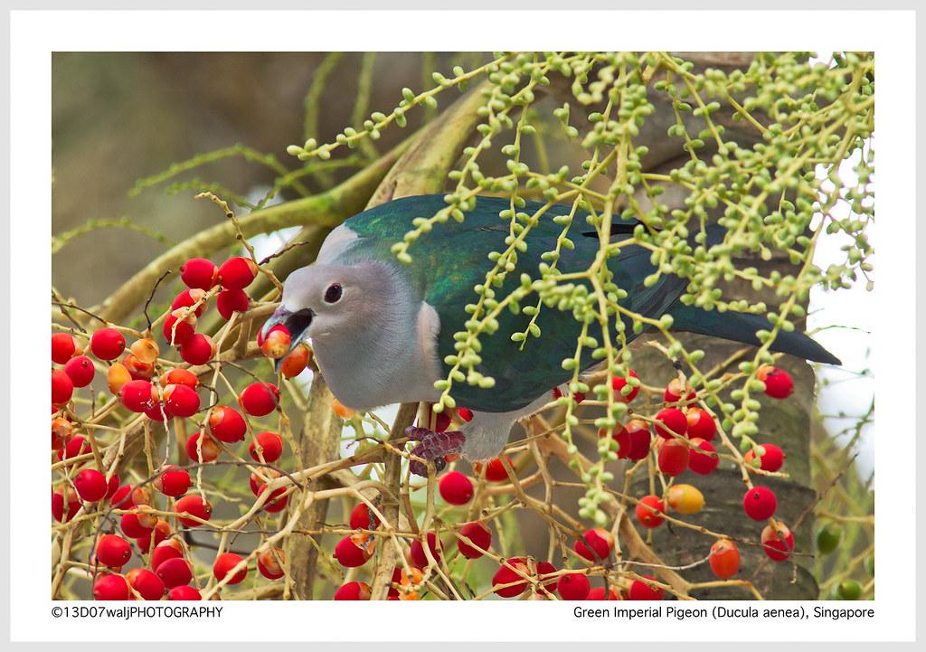 Green Emerald Pigeon