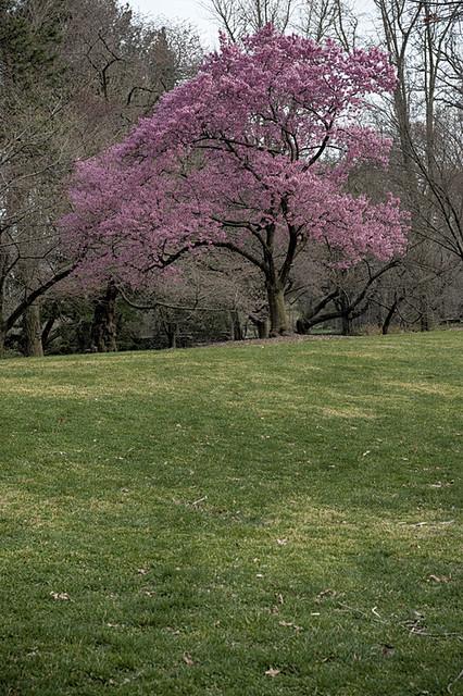 Flowering cherry tree at Brooklyn Botanic Garden, Brooklyn, NY