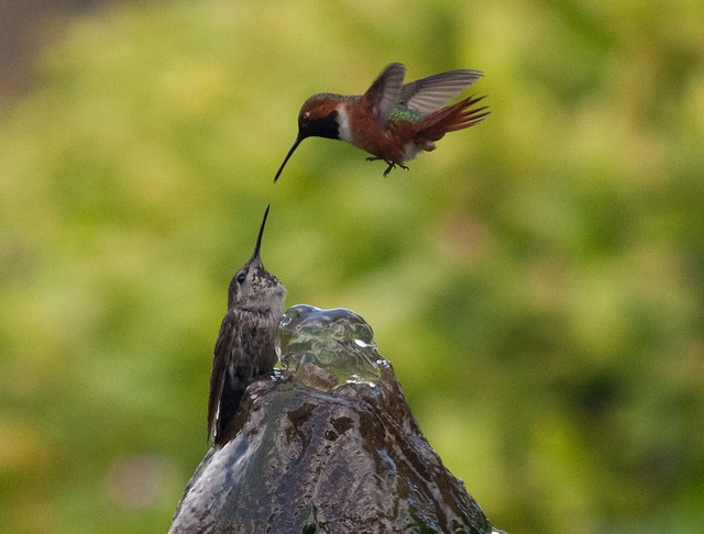 LA Hummingbird