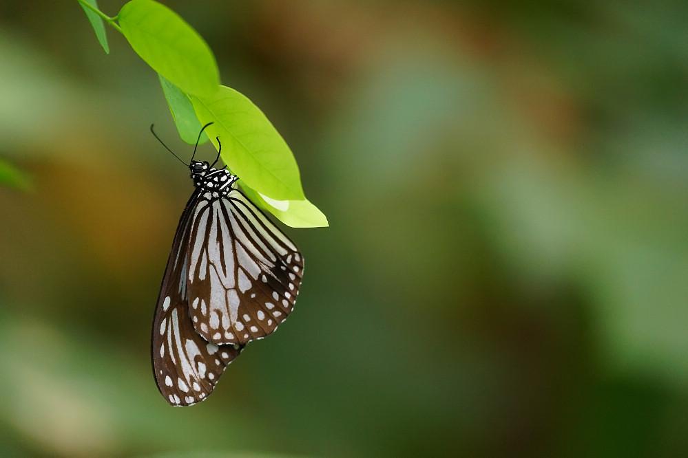 蛺蝶科絹斑蝶屬絹斑蝶-02