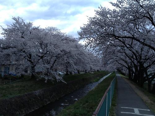 駒沢川の桜