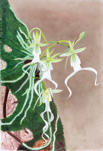Multi-flowered Ghost Orchid - Watercolor