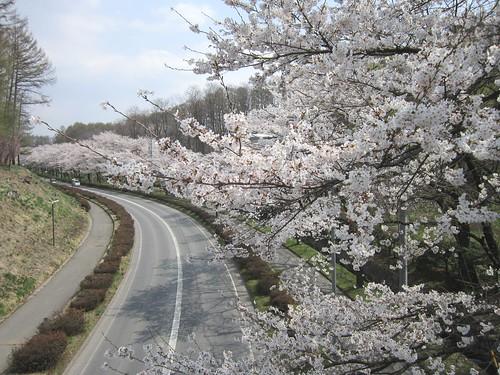 茅野市運動公園の桜 2013.4.16 by Poran111