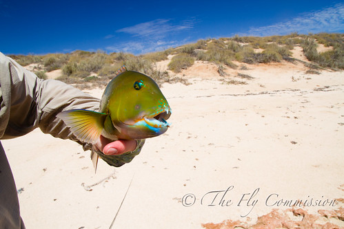 Tuskfish!