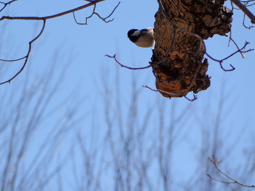 Tree Chickadee