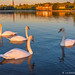Swans at Sunrise by James Neeley