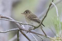 Pacific-slope Flycatcher (juvenile) (9387)