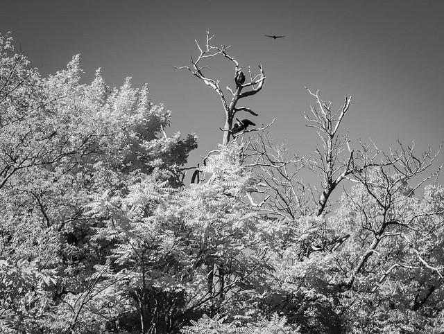 Turkey Vultures in Infrared