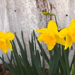 First Daffodils 2013 - 4
