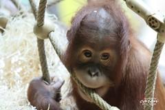 Sumatra Orang Utan JOLIE