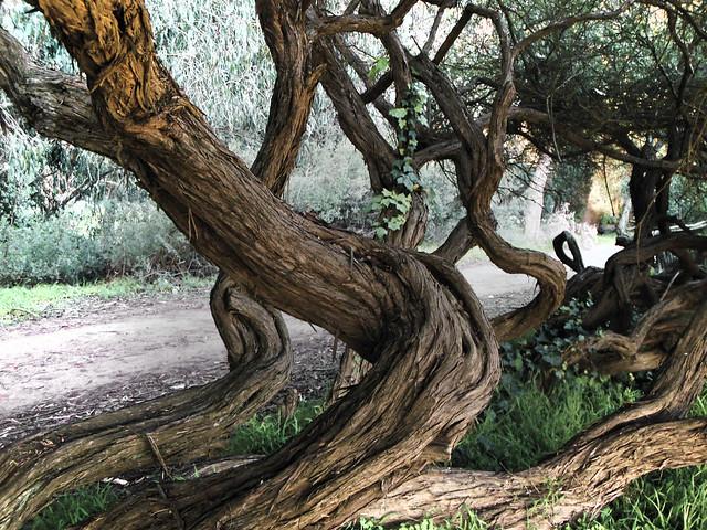 tea tree trunks at Polo fields; Golden Gate Park, San Francisco.  February 6, 2013