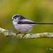 "LONG-TAILED-TIT   ""Aegithalos caudatus"" by Trevsbirds"