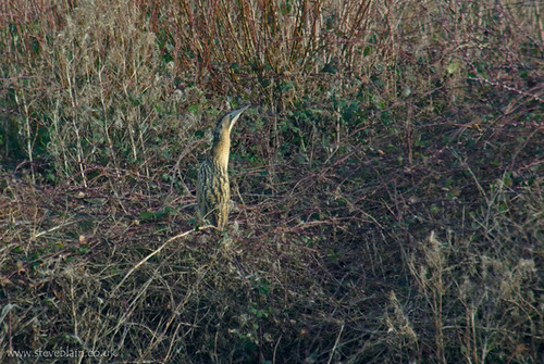 Bittern at Priory CP