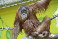 Sumatra Orang Utan JAHE