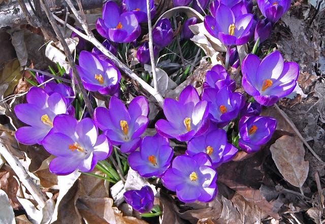 purple crocuses, Fujifilm FinePix XP20