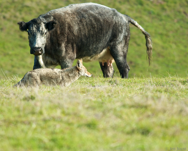 Cow focused on coyote