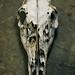 Whitetail Deer Deer Skull