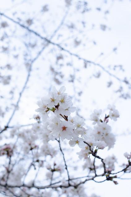 Sakura Snowy