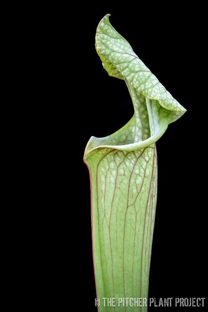 "Sarracenia 'Reptilian Rose' x leucophylla ""Purple Lips"" - clone 3"