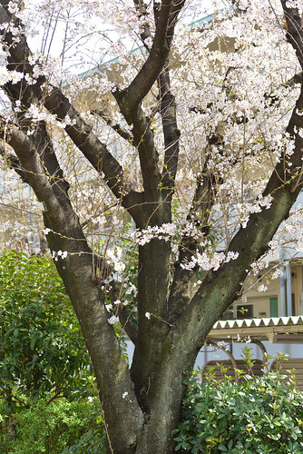 "Cherry blossom ""Somei Yoshino"""