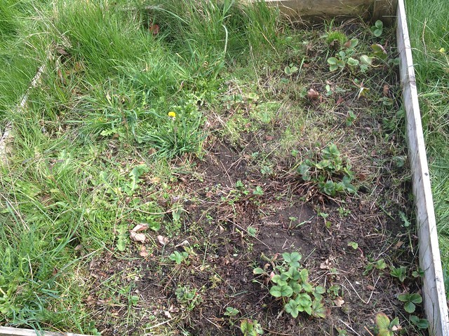 Working on clearing out the strawberry patch ... it's a gradual process.