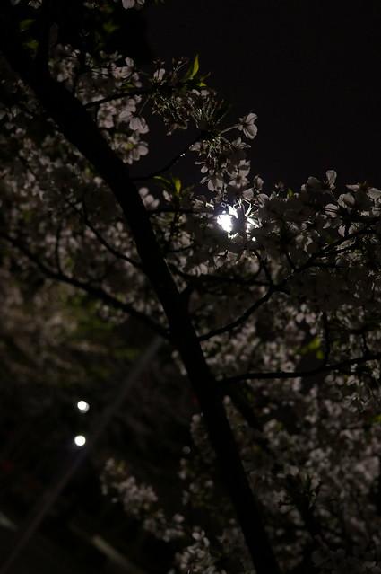 sakura light flare normal