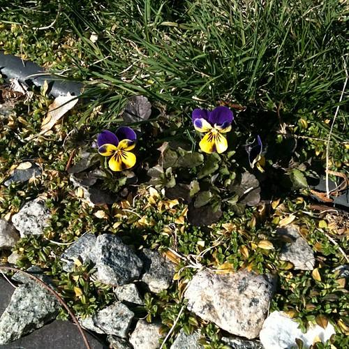 First violets!