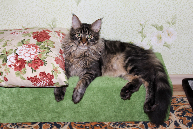 Jacob, Maine Coon, cat