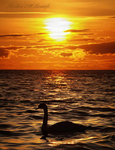 sunset sea sky bird water silhouette swan fowl waterfowl bjergenordstrand