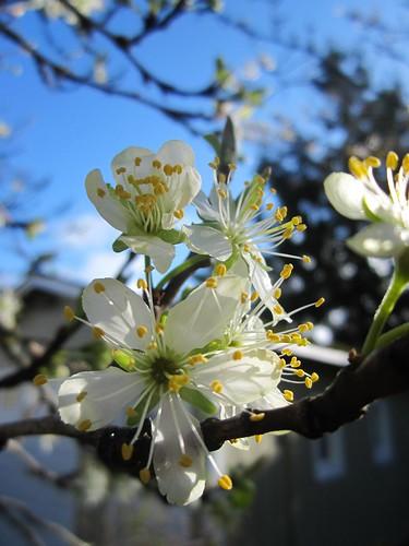 plum blossom by Rakka