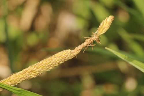 カサスゲの穂