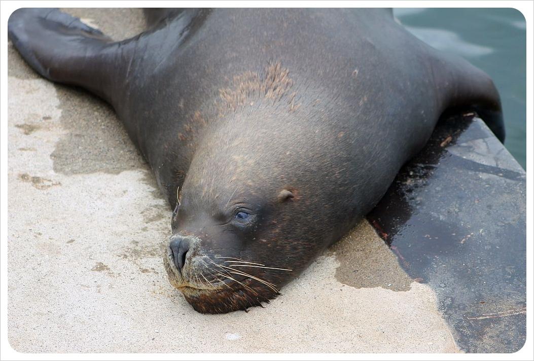 sea lion valdivia
