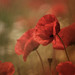Poppy Love by Knight Zeisy