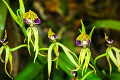 Belize Black Orchid