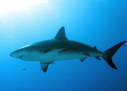 Shark Dive 2012
