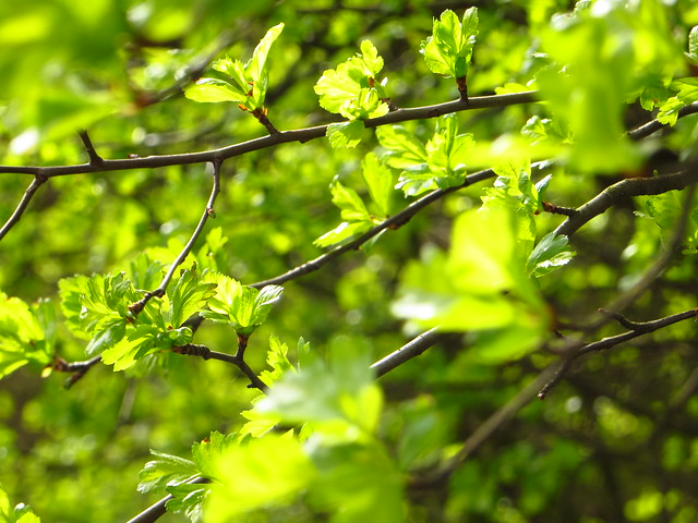 Hawthorn Leaves