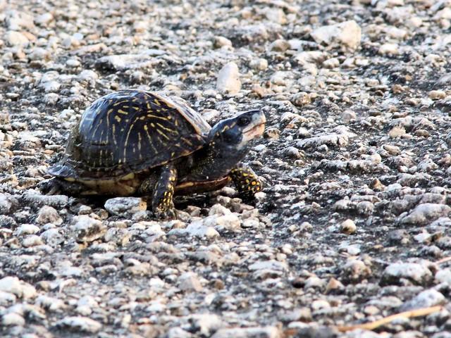 Box Turtle 20130416