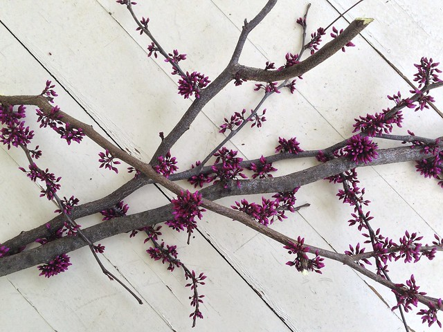 redbud branches IV