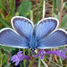 Silver-studded Blue (Tom Brereton)