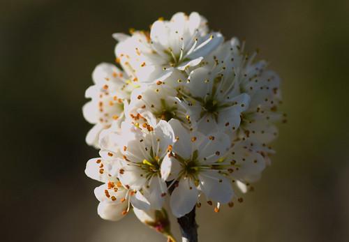 Biancospino / Whitethorn (Crataegus monogyna Jacq., 1775)