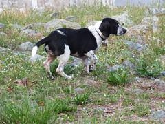hound(0.0), grand bleu de gascogne(0.0), small mã¼nsterlã¤nder(0.0), spaniel(0.0), french spaniel(0.0), english springer spaniel(0.0), dog breed(1.0), animal(1.0), dog(1.0), pet(1.0), mammal(1.0), hunting dog(1.0), beagle(1.0),