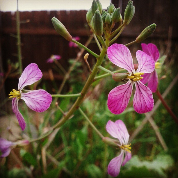 Wonky weather = bolting radishes! Did you know that their flowers are ...