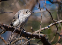 Blue gray Gnatcatcher Inceville  Los Liones Canyon 077