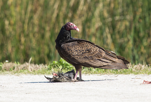Turkey Vulture eating a Common Gallinule