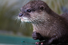 sea otter(0.0), animal(1.0), marine mammal(1.0), otter(1.0), fauna(1.0), close-up(1.0), polecat(1.0), whiskers(1.0), mink(1.0), wildlife(1.0),