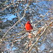 170/365: Confused Cardinal by americanfrog