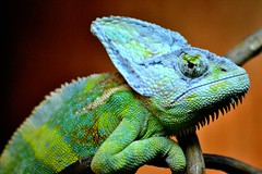 [Free Images] Animals (Others), Reptiles, Chameleons ID:201303010400