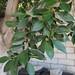 Garden Inventory: Ficus benjamina - 1